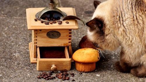 חתול וקפה