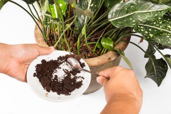 שימוש בקפה טחון כדשן אורגני